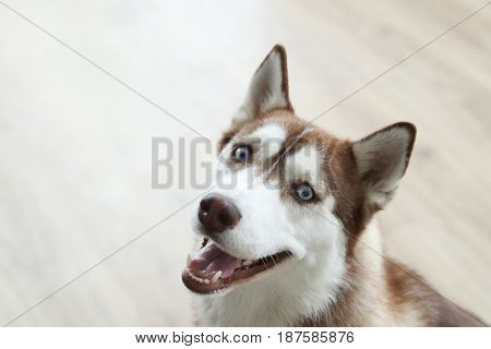 Dog breed. Beautiful husky at home