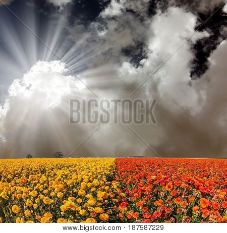 The fields of red and yellow garden buttercups. The bright southern sun shines through the dark cloud.  Concept of rural tourism