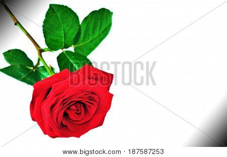 Bright red color roce flower on white background
