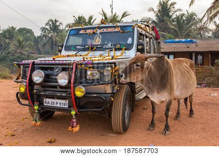 Gokarna, India - January 15, 2016: Holy indian cow eats flower decorations from hindu pilgrims car in Gokarna city, India