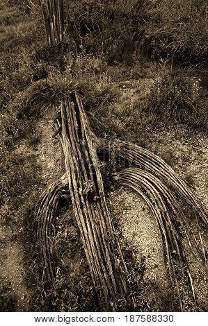 Cactus skeleton in Arizona desert on floor of ground nature