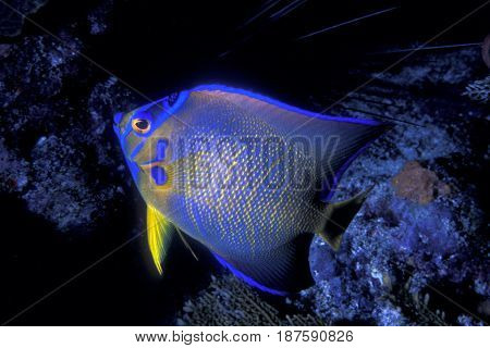 A blue Queen Angelfish on a reef in the Florida Keys