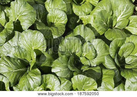 Bok choy or pak choy (Brassica chinensis) is a type of Chinese cabbage with smooth dark green leaf blades forming a cluster