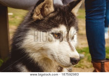 Portrait black and white Husky dog in green grass background.
