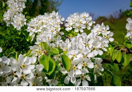 Branch of a flowering pear tree in spring time
