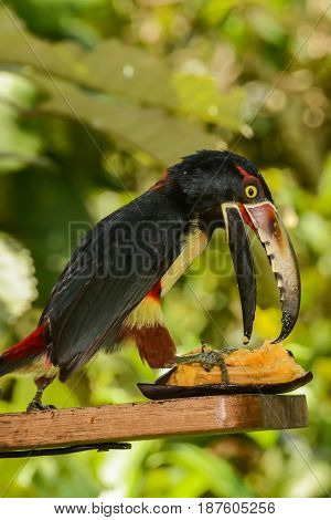 A Collared Aracari eating a plantain from a bird feeder in Costa Rica.