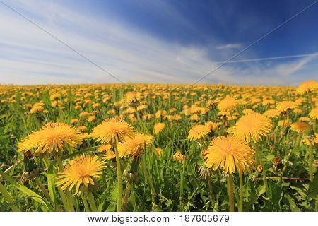 Meadow With Dandelions On A Summer Day
