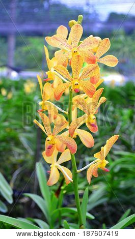 Yellow orchid flower over orchid garden background