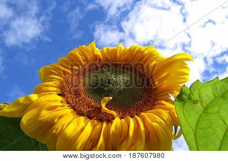 Close-up of a cheerful and bright sunflower sun flower in the garden
