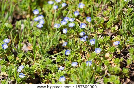 Small blue flowers in a park in the nature