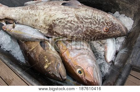 Fresh catch of fish on ice, Gag, Grouper, Kingfish, Amberjack