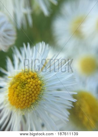 Beautiful Micro View of Wild Daisy Blowing in the Wind.