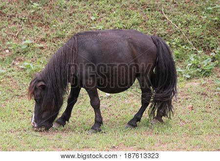 Mule eating grass in the field A mule with thick mane and thick bushy tail eats grass in a field