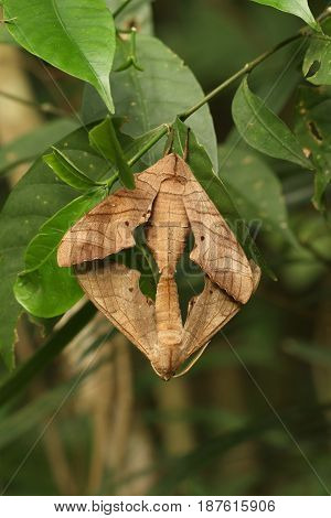 Two brown moth mating on green tree