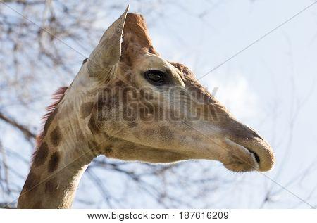 Portrait of a giraffe against the blue sky .