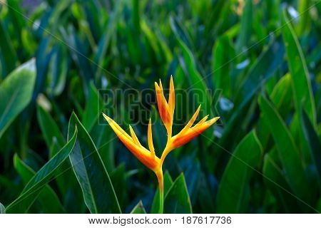 Close Up Of Orange Bird Of Paradise Flower With Green Plant Background.
