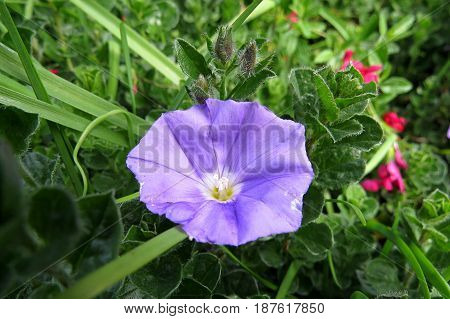 Convolvulus Bindweed Morning Glory pretty purple flower groundcover plant