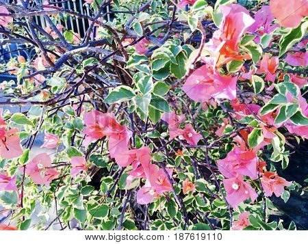 Fresh Pink Bougainvillea Flowers or Paper Flowers Blooming on The Green Tree.