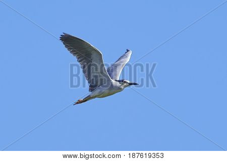 Black-crowned night heron in flight with blue skies in the background