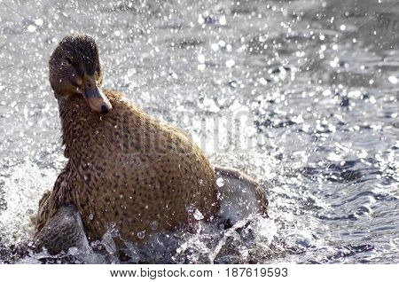 The spray of water is backlit by the winter sun as a female Mallard takes a vigorous bath in a pond.