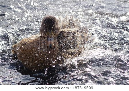 Spray flies as an female Mallard splashes herself in a pond. The winter light glints off of the water drops and ripples.