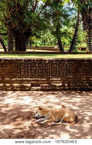 A dog napping in the shade of some trees away from the midday sun in the ancient city of Polonnaruwa Sri Lanka.