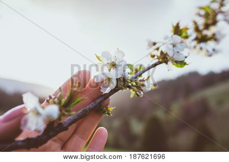 Tree brunch in bloom in the girl's hand at the sunset in the mountains in spring