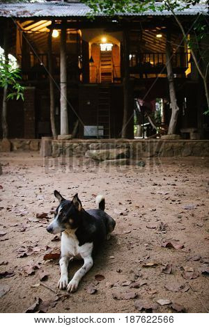A dog guards the entrance of a house in the forests of Sri Lanka just outside Sigiriya.