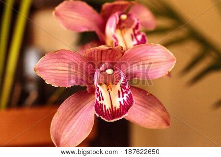 Pink Cymbidium Orchid Flower Blooms In A Botanical Garden