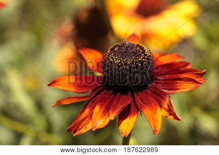 Echibeckia Daisy Flower Is A Cross Between Echinacea And Rudbeckia Called Summerina Brown