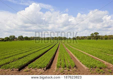 Springtime Carrot Fields