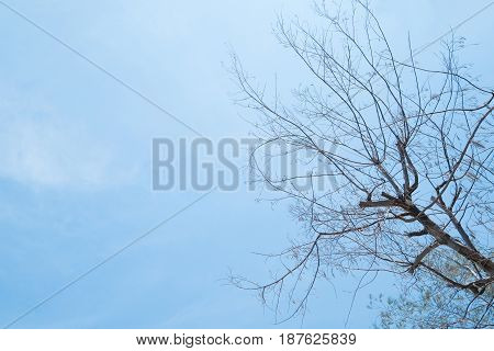 Silhouette dead tree branches with blue sky background.