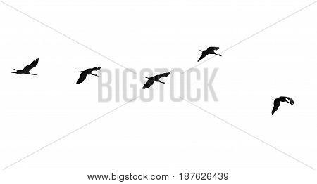 Flock of swans isolated on white background .