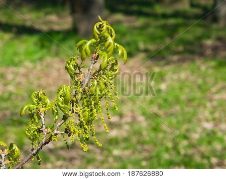 Blossom of English Oak Tree or Quercus robur with male flowers close-up selective focus shallow DOF.
