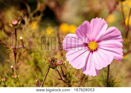 Pink Cosmos daisy grows as a wild flower in a field in spring
