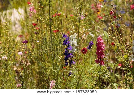 Wild flowers including daphnia poppies and sweet pea in spring in a botanical garden.