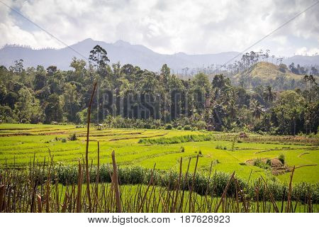 Landscape of rice fields mountains palm trees and bamboo in the highlands around Nuwara Eliya and Ella Sri Lanka.