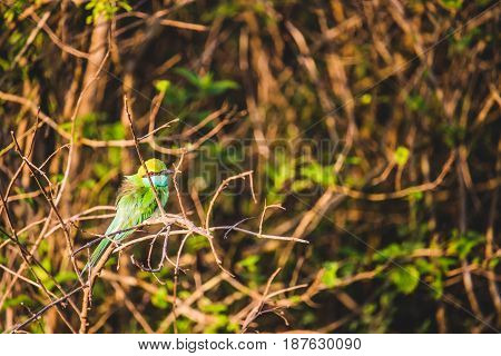 A Colorful Bee-eater Merops Orientalis Perched On A Branch In The Undergrowth In Udawalawe National
