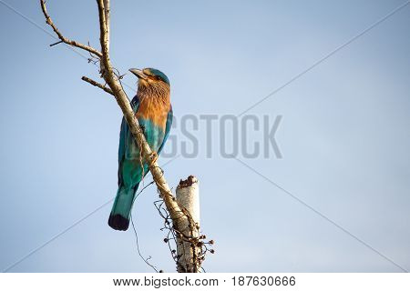 A Stunning Indian Roller Perched On A Tree Branch In Udawalawe National Park, Sri Lanka