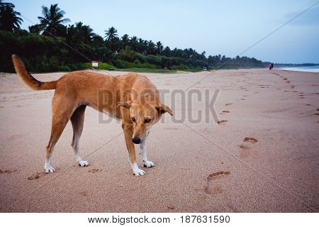 A Stray Dog On A Beach In Sri Lanka With People Walking Away In The Background