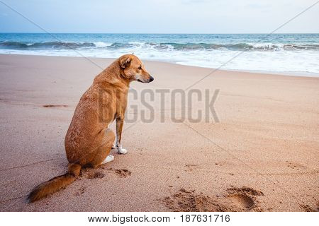 A Stray Dog On A Beach Looking Out Towards The Ocean In Sri Lanka