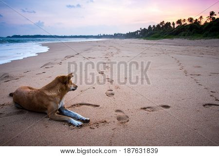 A stray dog lying on a sandy beach looking out into the deistance by the ocean in Sri Lanka