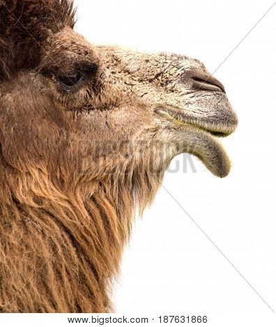 Portrait of a camel on a white background .