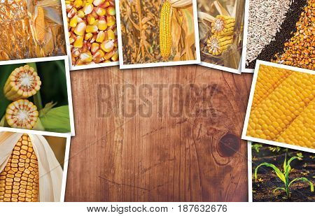 Corn in agriculture photo collage with copy space