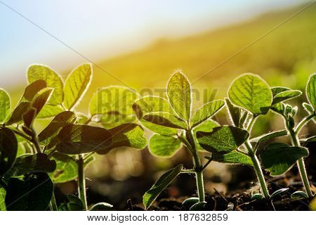 Cultivated soybean furrow young plants growing in agricultural field