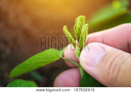 Farmer examining soybean growth development close up of hand holding small green plant in cultivated field