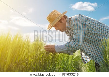 Male farmer examining wheat ears in field man working on cereal crop plantation