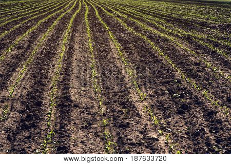 Young corn crop furrows cultivated agricultural field agriculture and organic production