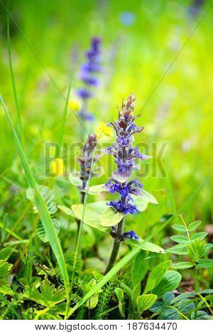Blooming Blue Bugleweeds (ajuga Reptans) In The Summer Meadow