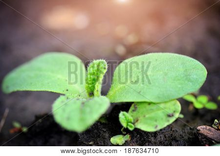 Young Sprout Cucumber In The Garden In Spring. Selective Focus